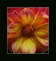 The Friday Dahlia by Deb-e-ann