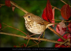 Hermit Thrush by Sonny2005