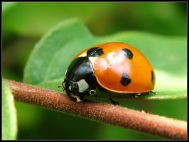 Ladybird by cycoze