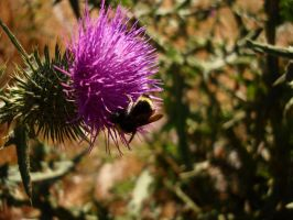 Thistle Bee by TreeClimber