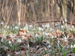First Snowdrops by katik235