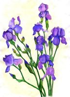 irises ID by naglets