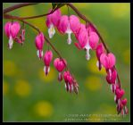 More Bleeding Hearts by allym007