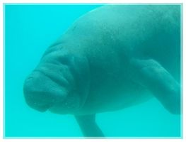 Manatee by pink-spike