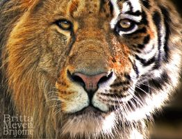 Lion-tiger by brijome