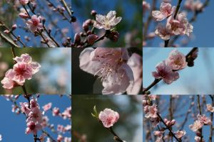 Peach Blossom Collage by Silver-Dew-Drop
