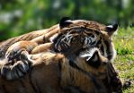 Tigers wrestling 2 by fosspathei