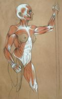 Muscle Anatomy WIP by konstantinek
