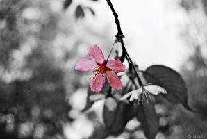 Cherry Blossom by Wekuster
