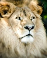 Lion close up by shusmitaferdi