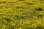 Buttercup field bg by OTRS