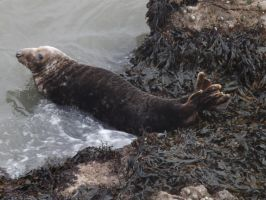 Local wild seal colony, at Worms Head 12 by nonyeB