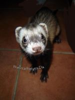 Ferret Style by theircatseyes