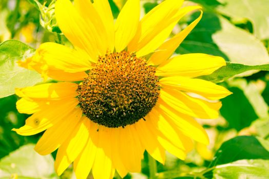 Sunflower-1-5 by anditosan