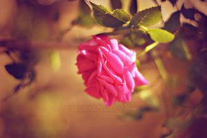 Pink rose wallpaper by EliseEnchanted