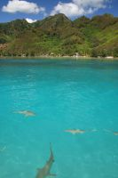 Multiple Black-Tip Reef Sharks by tcore