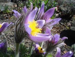 Pasqueflower by thegreeneye