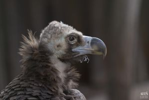 cinereous vulture (Aegypius monachus) by Aleseks