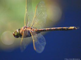 Dragonfly Flying West by Creative-Addict