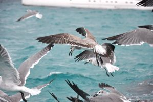 Seagulls in Mid-Flight by canyonlord