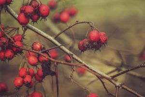 red berrys by CliffWFotografie
