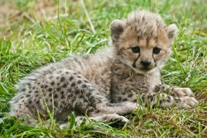Cheetah Cub 273-11A by Haywood-Photography