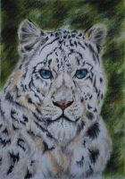 Snowleopard in pastel by mooni