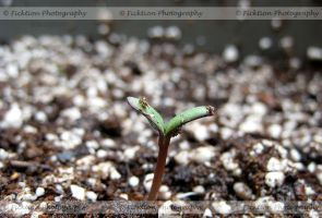 Start of a Sunflower by FicktionPhotography