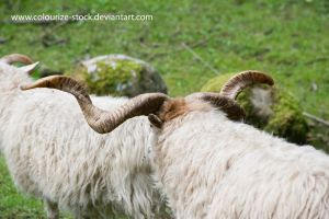 Sheep stock 2 by Colourize-Stock