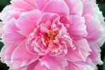 Perfect Peony by Scooby777