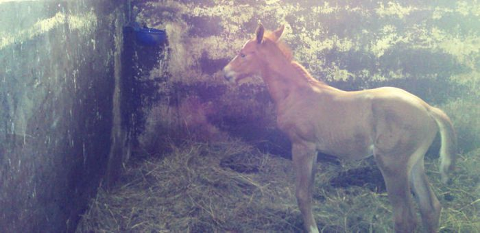 4 days young foal by Clayar