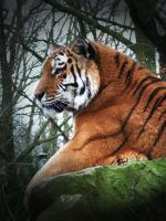 bengal tiger by wiingzz