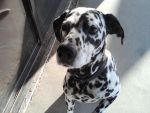 my dalmatian by WhatIsFreedomToYou