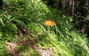 Amanita Muscaria by Slater91