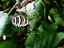 spider. by Casiula