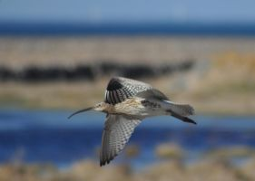 eurasian curlew 6 by perwistrand