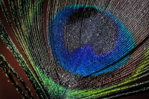 Peacock Feather by inkywinkypinky