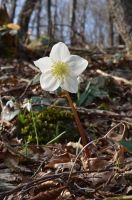 Christmas rose by albyper84