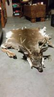 Whitetail Headdress for Sale SOLD by Pheasant-Sky