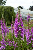 Foxglove Joy by MayEbony