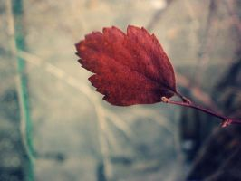 Red winter leaf 01 by abbeyagraves