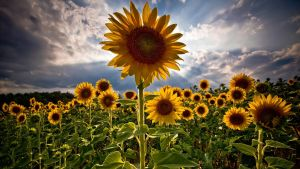sunflower by somedayiws1