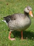 Goose 1 by almudena-stock