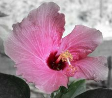 Pink Black And White Flower by BachLynn23
