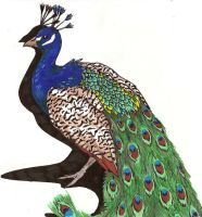 Card_Peacock by Quailkin