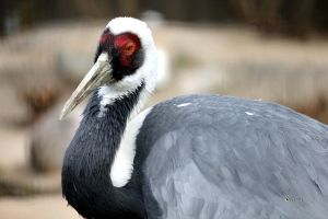 White-Naped Crane by cindy1701d