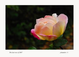 The last rose of 2007 by jchanders