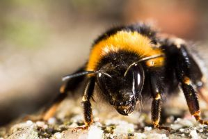 :: Bee :: by AmyranthPhotography