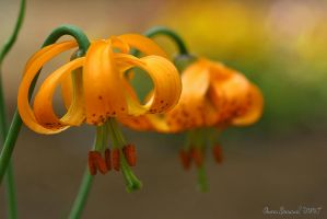 Tiger Lillies by Yinxy