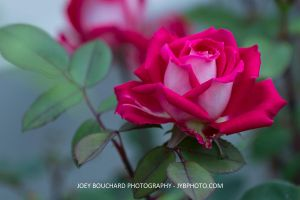 Pink Rose by JYB-Photography
